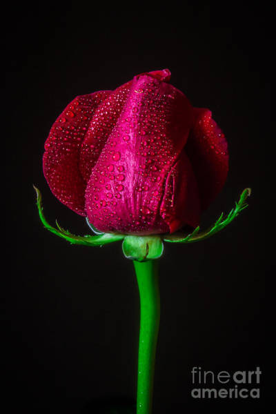 Passionate Photograph - Long Stem Red by Mitch Shindelbower