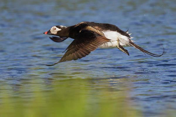 Wall Art - Photograph - Long-tailed Duck Taking Flight by Ken Archer