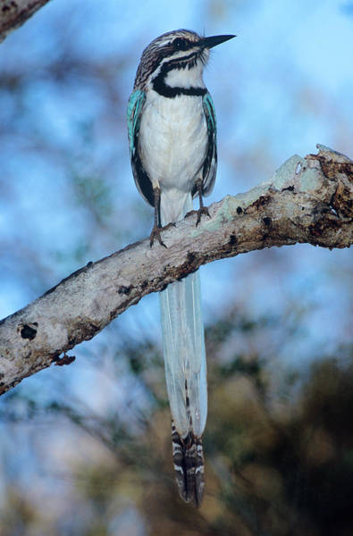 Long Tail Photograph - Long-tailed Ground Roller by Tony Camacho/science Photo Library