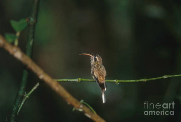Photograph - Long-tailed Hermit Hummingbird by Gregory G. Dimijian, M.D.