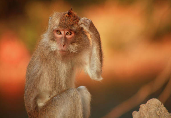 Long Tail Photograph - Long-tailed Macaque by Andrew Bain