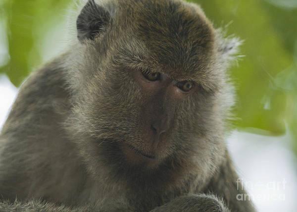Photograph - Long-tailed Macaque by Dan Suzio