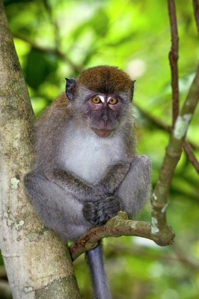 Long Tail Photograph - Long-tailed Macaque by Tony Camacho/science Photo Library