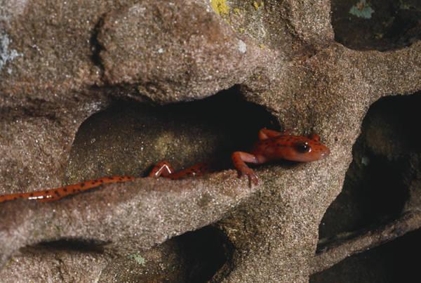 Wall Art - Photograph - Long-tailed Salamander by Charles E. Mohr