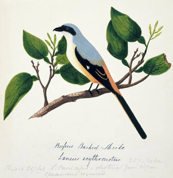 Long Tail Photograph - Long-tailed Shrike by Natural History Museum, London/science Photo Library