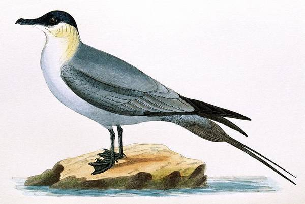 Long Tail Photograph - Long-tailed Skua by George Bernard/science Photo Library