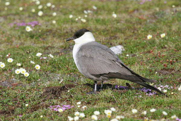 Long Tail Photograph - Long-tailed Skua by John Devries/science Photo Library