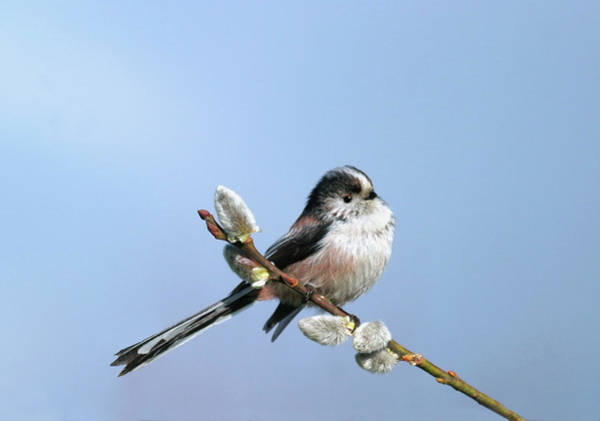 Long Tail Photograph - Long-tailed Tit (aegithalos Caudatus) by John Devries/science Photo Library