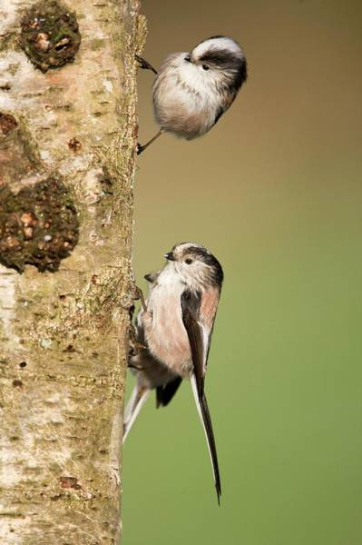 Wall Art - Photograph - Long-tailed Tits by John Devries/science Photo Library