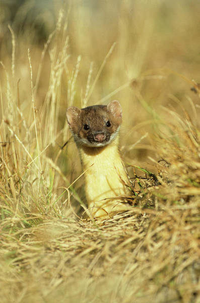 Untamed Photograph - Long-tailed Weasel (mustela Frenata by Richard and Susan Day