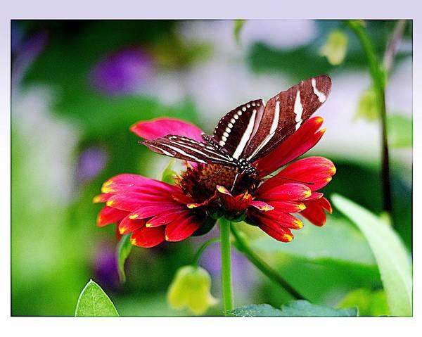 Christine Martin-Lizzul - Long-winged Zebra on Flower