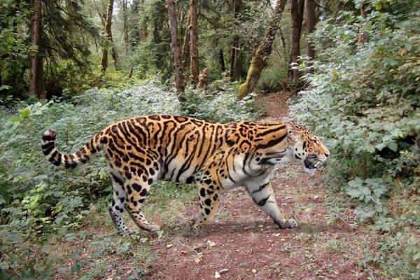 Wall Art - Photograph - Longdan Tiger by Roman Uchytel/science Photo Library