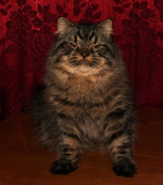 Photograph - Longhair Scottish Fold by Robert Morin
