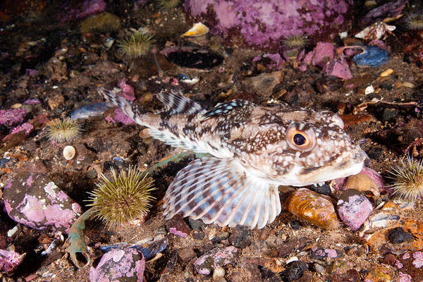 Photograph - Longhorn Sculpin by Andrew J Martinez