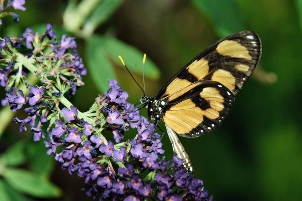 Photograph - Longwing by Tam Ryan