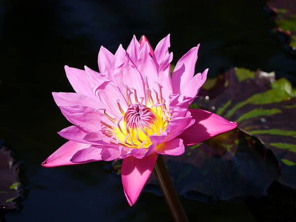 Photograph - Longwood - Water Lily IIi by Richard Reeve