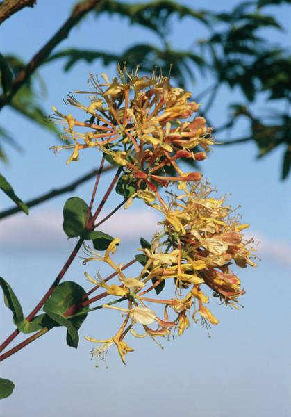 Lonicera Photograph - Lonicera Heckrotti. by Brian Gadsby/science Photo Library