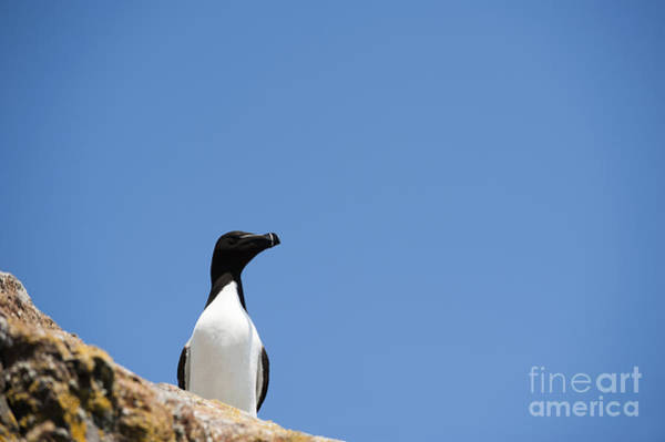 Alcidae Photograph - Look At Me by Anne Gilbert