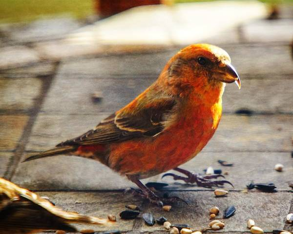 Photograph - Look - I'm A Crossbill by Robert L Jackson
