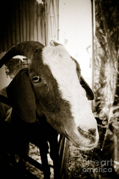 Petting Zoo Photograph - Look Me In The Eye by Colleen Kammerer