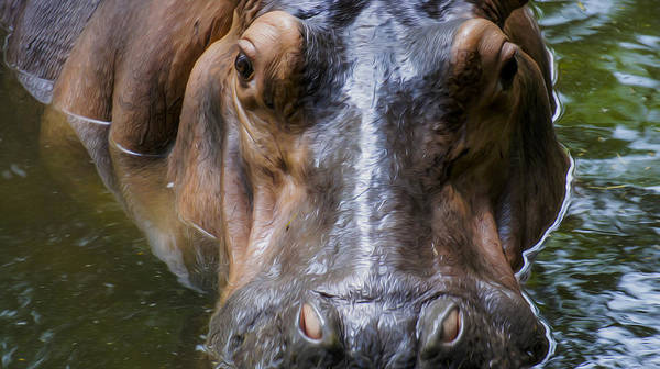 Hippo Photograph - Look Me In The Eyes by Aged Pixel