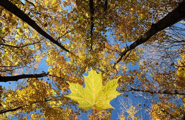 Acer Saccharum Photograph - look up look waaay up in Ontario by Robin McLeod
