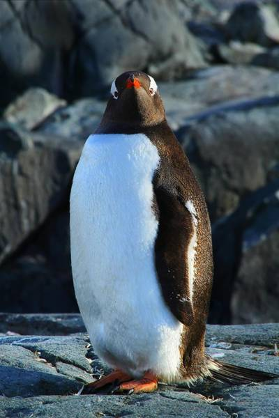 Gentoo Wall Art - Photograph - Looking At You by FireFlux Studios