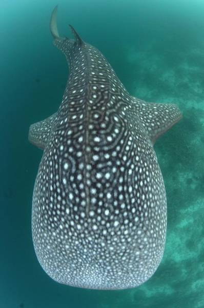Atoll Photograph - Looking Down On A Whale Shark by Scubazoo