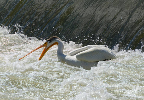 American White Pelican Wall Art - Photograph - Looking For Dinner by Mike  Dawson