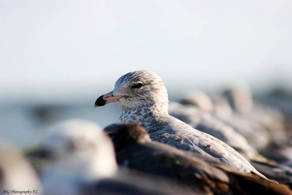 Photograph - Looking Seagull by Marty Gayler