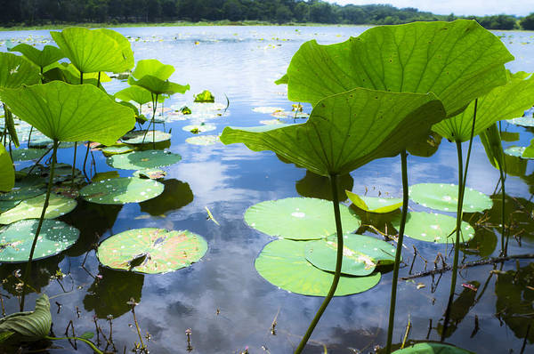 Water Lilies Photograph - Looking Toward The Sun by Ellie Teramoto