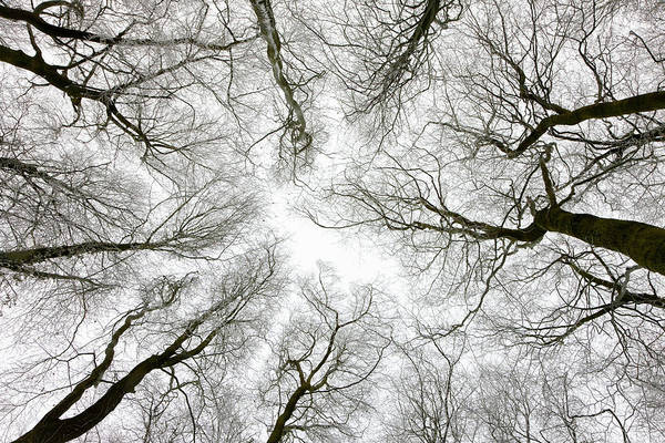 Canopy Photograph - Looking Up At Winter Tree Canopy by Peter Adams