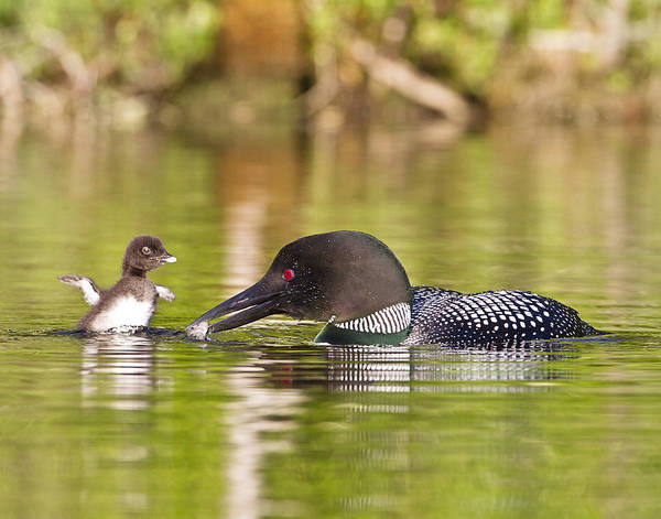 Photograph - Loon Chick Excited For Breakfast by John Vose