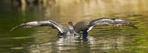Photograph - Loon Chick Hold On by John Vose