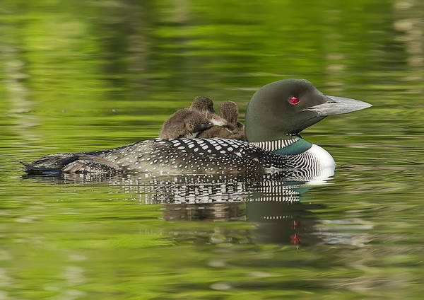 Photograph - Loon Chicks - Best Buddies by John Vose