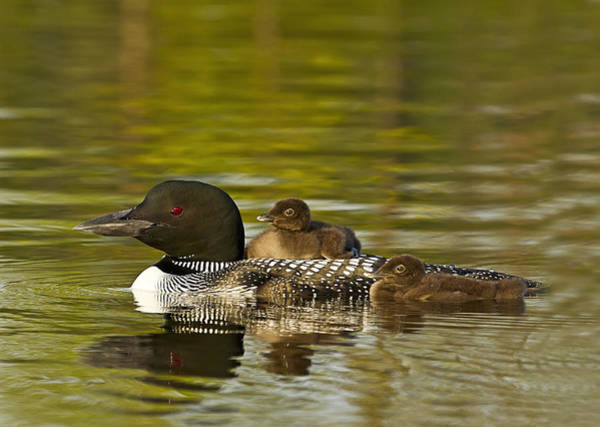 Photograph - Loon Parent With Two Chicks by John Vose