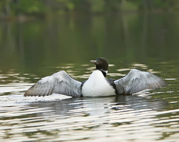 Photograph - Loon Wing Spread - Drying Off by John Vose