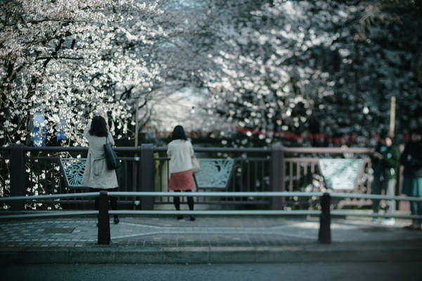 Casual Photograph - Loooking Out Over Cherry Blossoms by Dear Blue