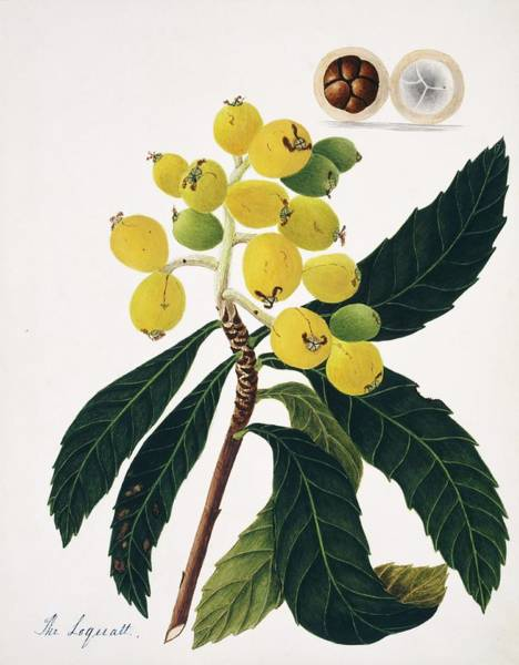 Japonica Photograph - Loquat Fruits by Natural History Museum, London/science Photo Library