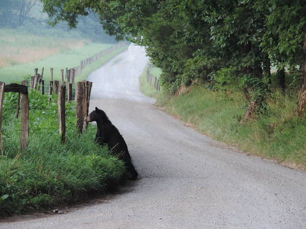 Rader Photograph - Lost Bear Cub In Cades Cove by Roe Rader