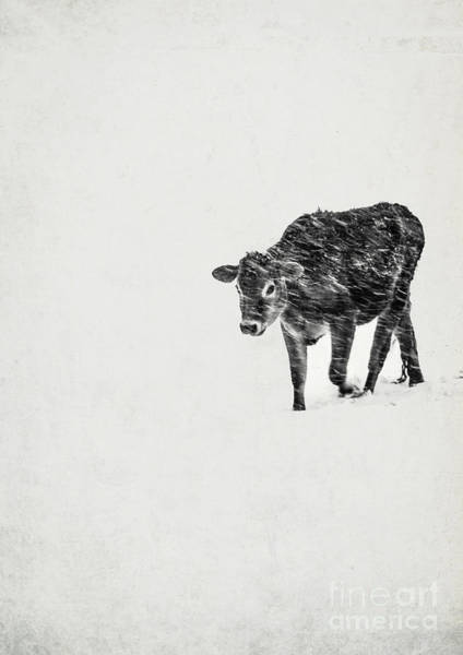 Photograph - Lost Calf Struggling In A Snow Storm by Edward Fielding