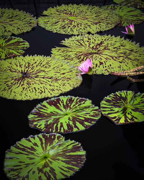 Photograph - Lotus And Big Pads by Robert Mitchell