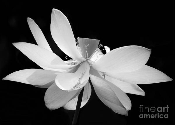 Photograph - Lotus Ballerina by Sabrina L Ryan