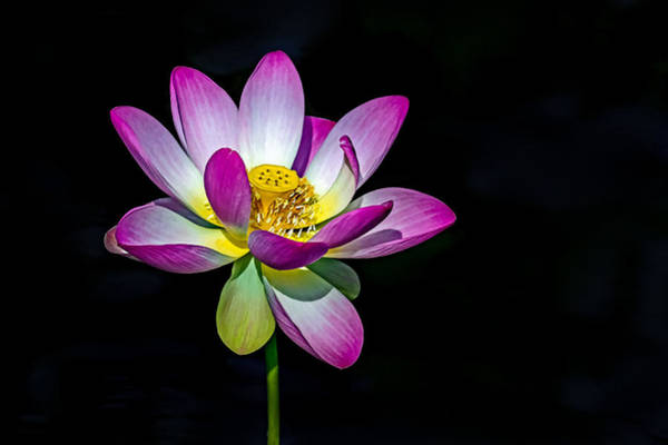 Photograph - Lotus Blossom by Jerry Gammon