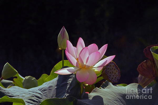 Photograph - Lotus Enchantment by Byron Varvarigos