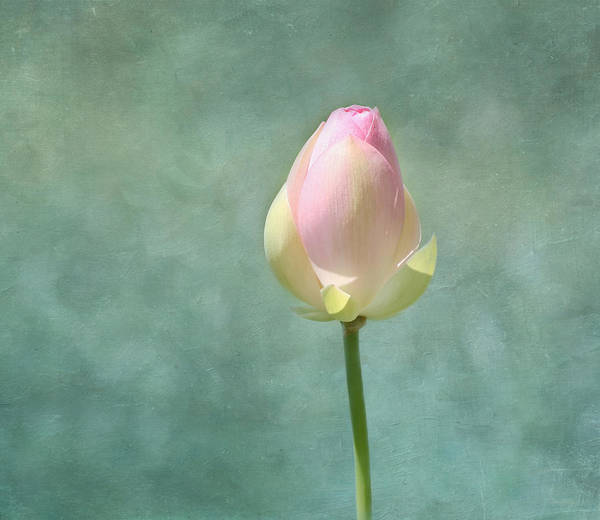 Pink Lotus Flower Photograph - Lotus Flower Bud by Kim Hojnacki