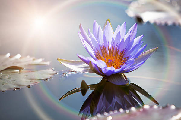 Lotus Flower With Sun Flare Art Print