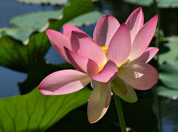 Photograph - Lotus - Flowers by Daliana Pacuraru