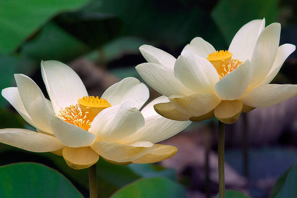 Photograph - Lotus Flowers by Mary Almond