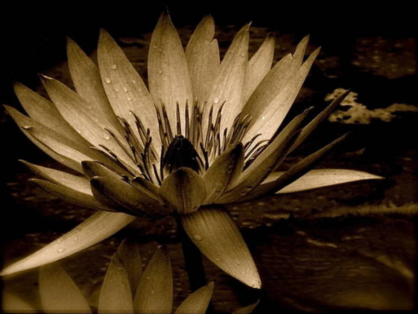 Photograph - Lotus II by Kim Pippinger
